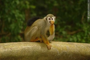 Monkey, French Guiana