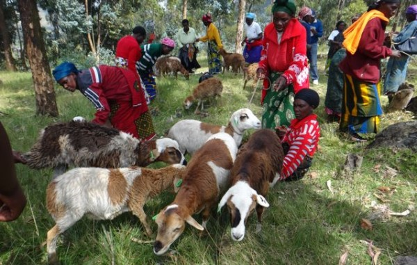 Subsistence farmers in Africa receive sheep and goats which will eventually expel compostable manure.