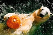 Polar bear swimming with pumpkin