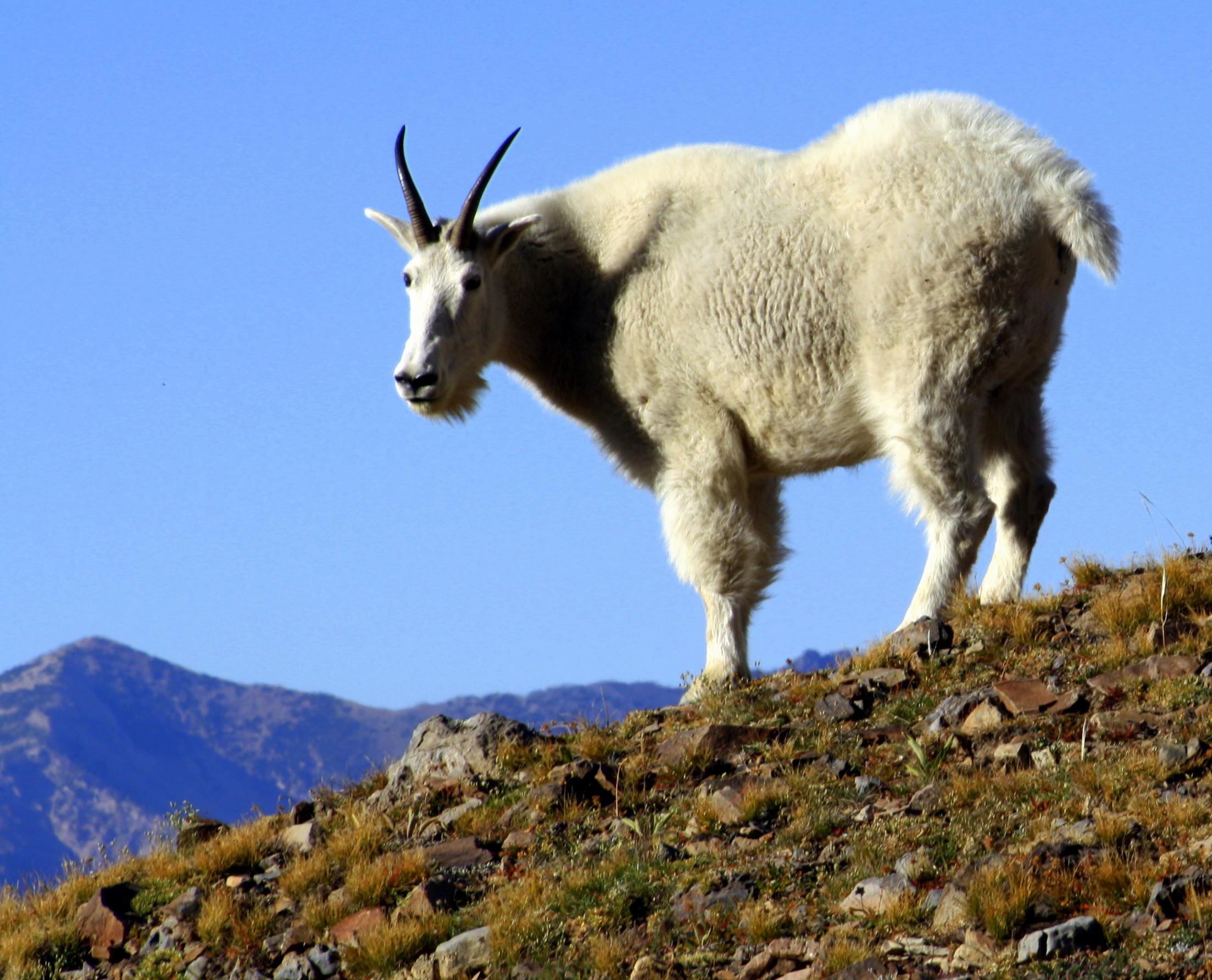 goat - photo #2
