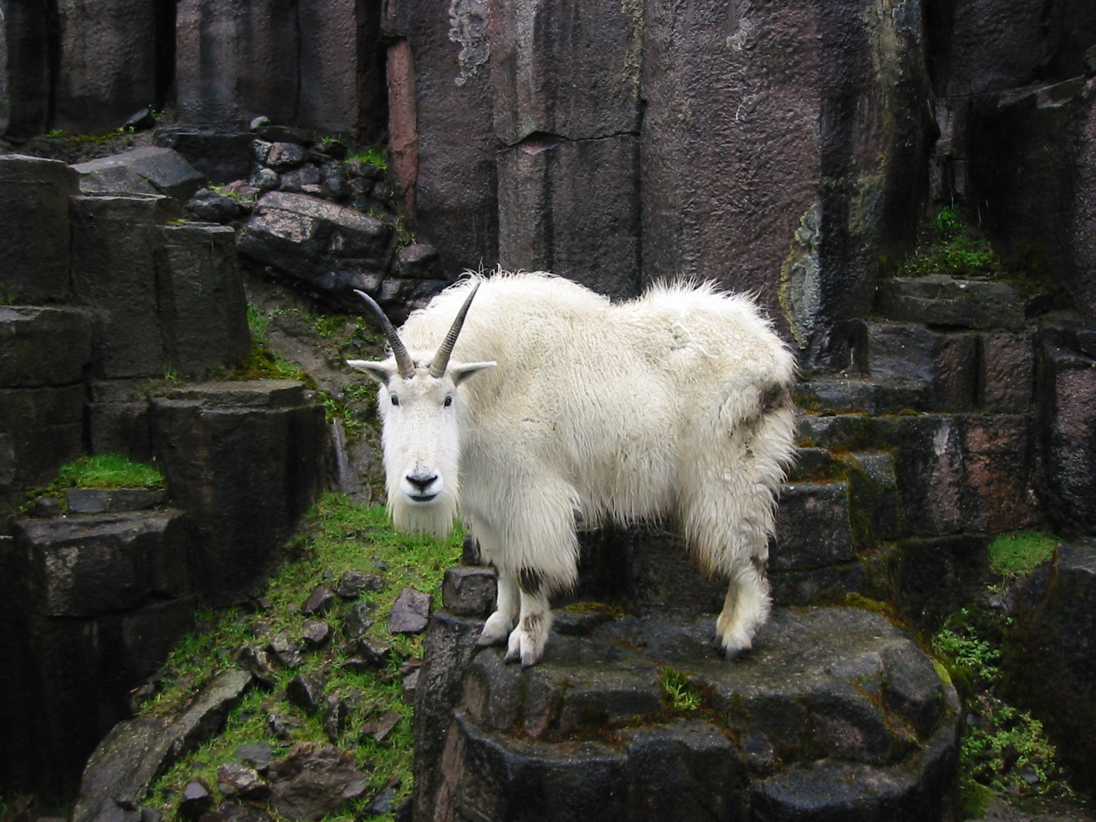 goat - photo #8