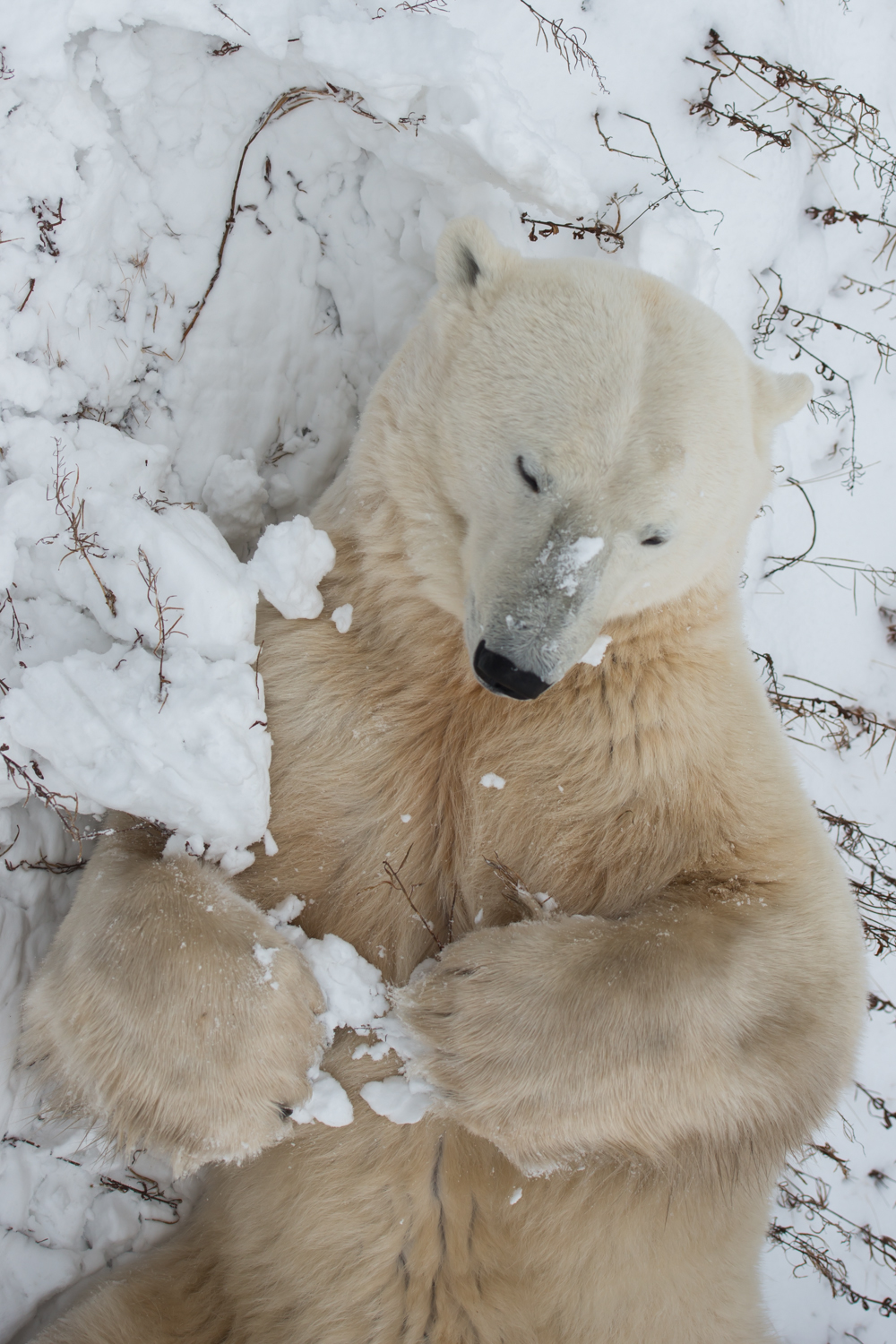 id polar bears essay Essay are polar bears  we'd both been hanging around the tiny town of churchill, manitoba, ground zero for everything having to do with polar bears.