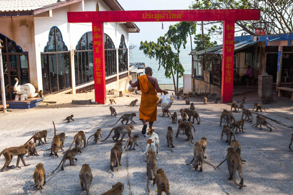 Photo: Monkeys follow a buddhist monk carrying a bag of bananas in a Hua Hin temple.