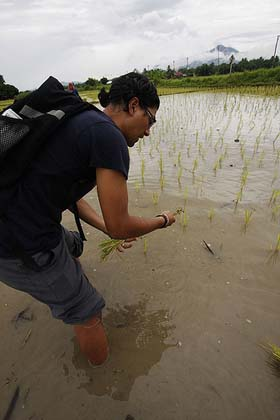 Replanting rice in Thailand