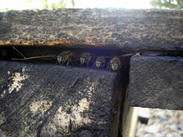 Guard bees