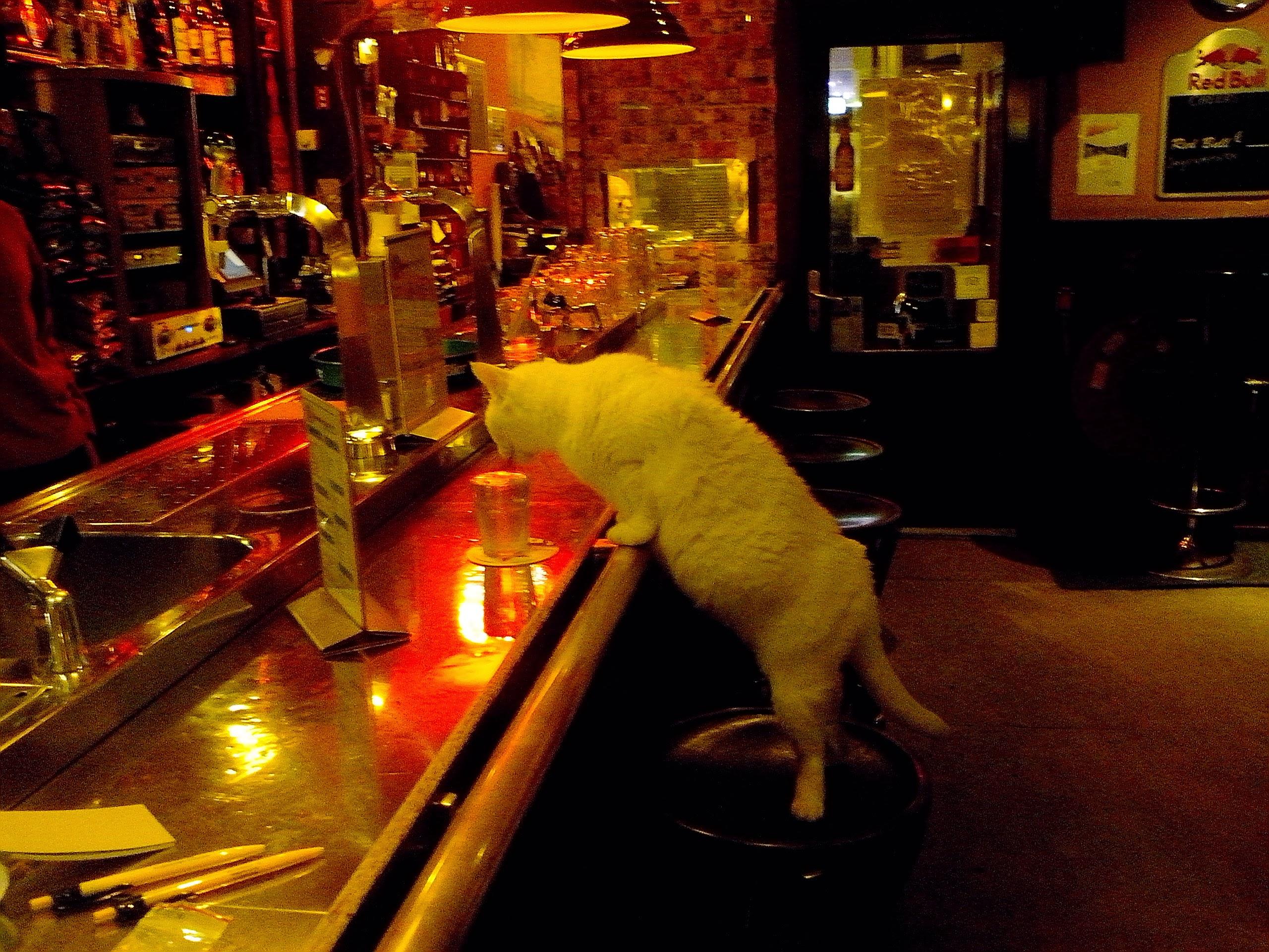 Dutch cat drinking @ the hostel bar