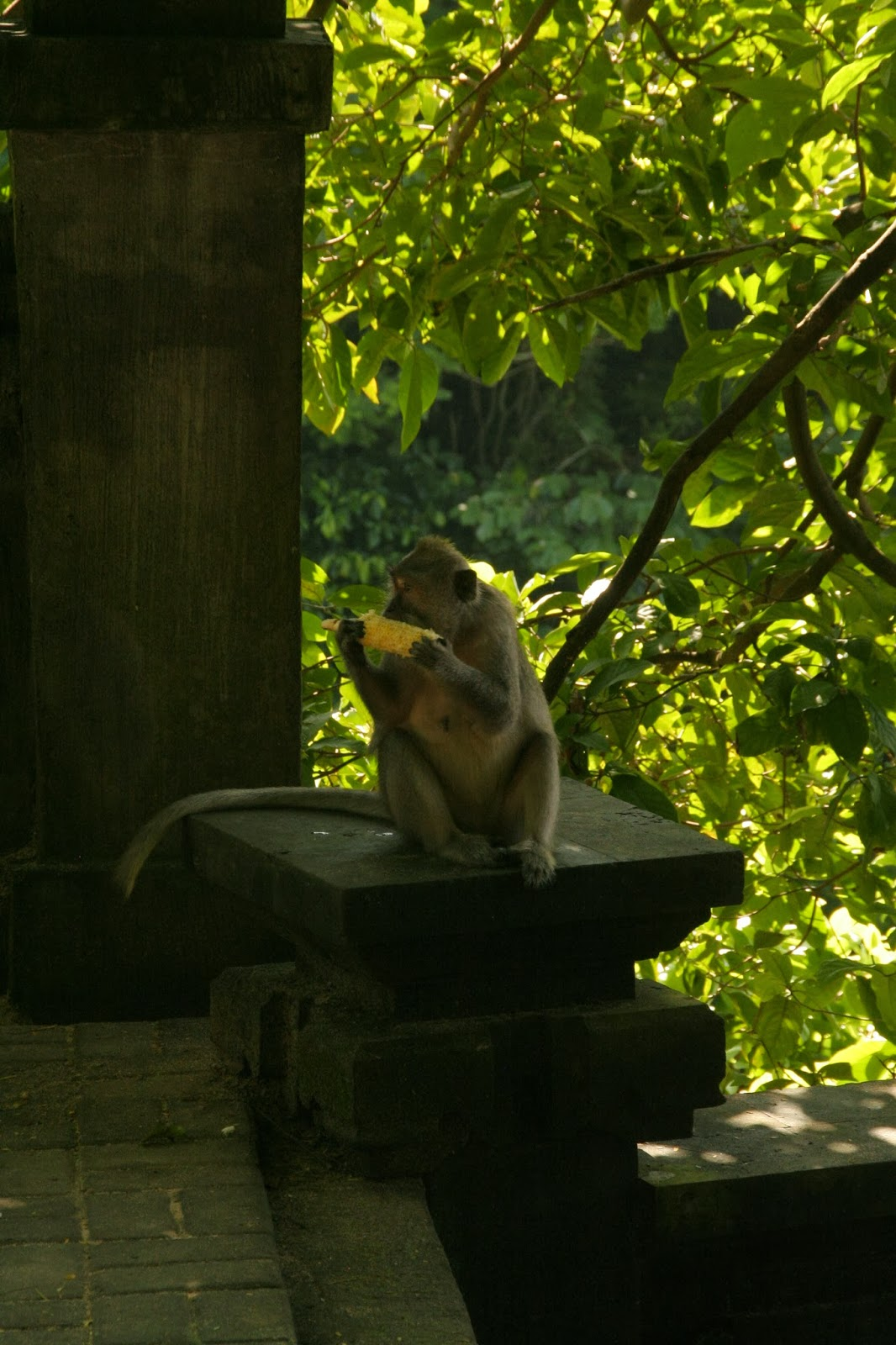 Monkey at Padang Padang