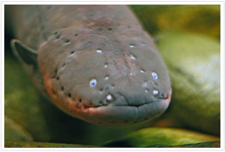 Electric-Eel