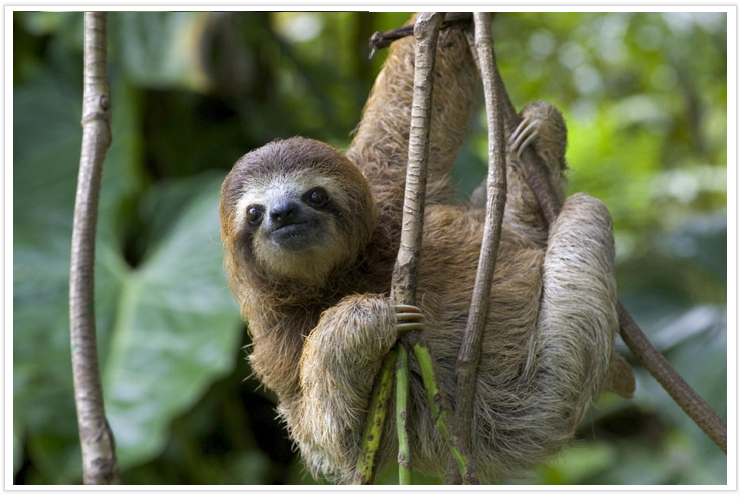 three toedf sloth