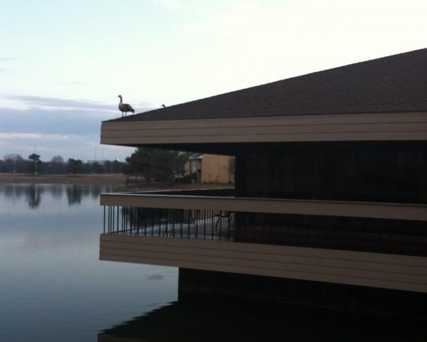 Canadian goose in Omaha, NE 2013