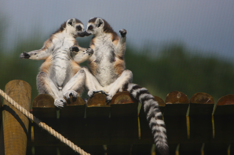 Kissing Lemurs by Rob Gallop