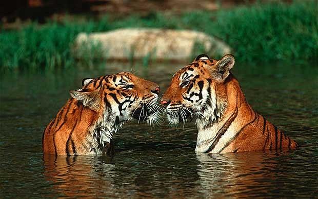 tiger_2370619b