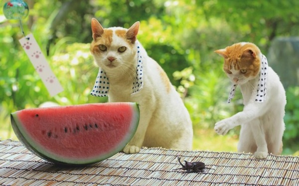 Cats-Eating-Watermelon