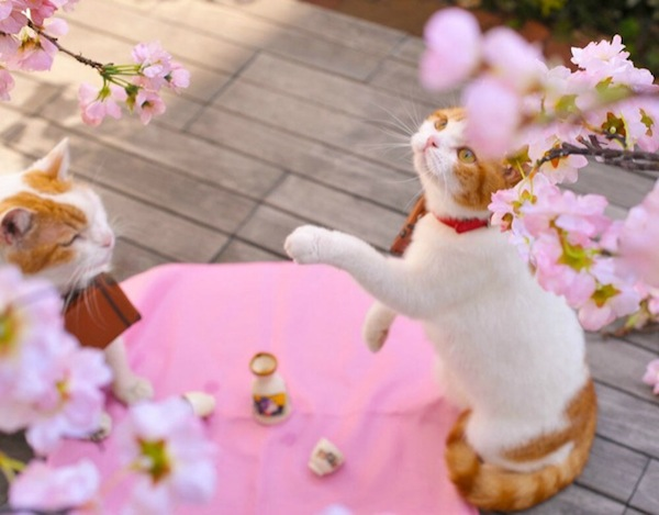 cute cats promoting Japan, cherry blossoms