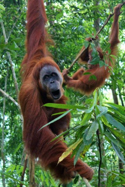 One of the semi-wild orangutan families in the Sumatran jungle