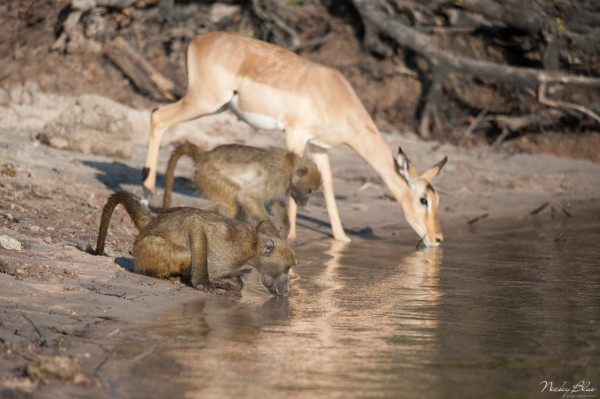 Focused on the first baboon drinking along side a springbuck.