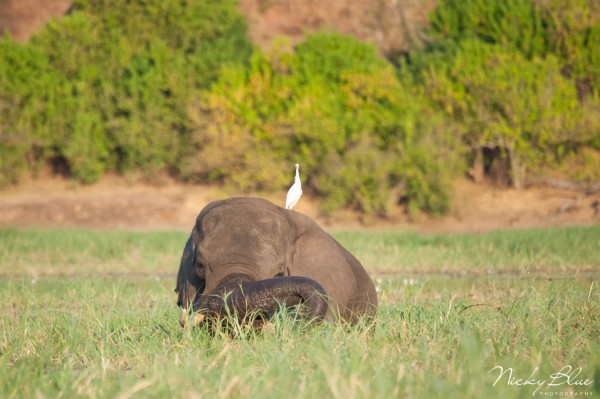 Beautiful elephant in the Chobe river eating grass with a Egret sitting on its back.
