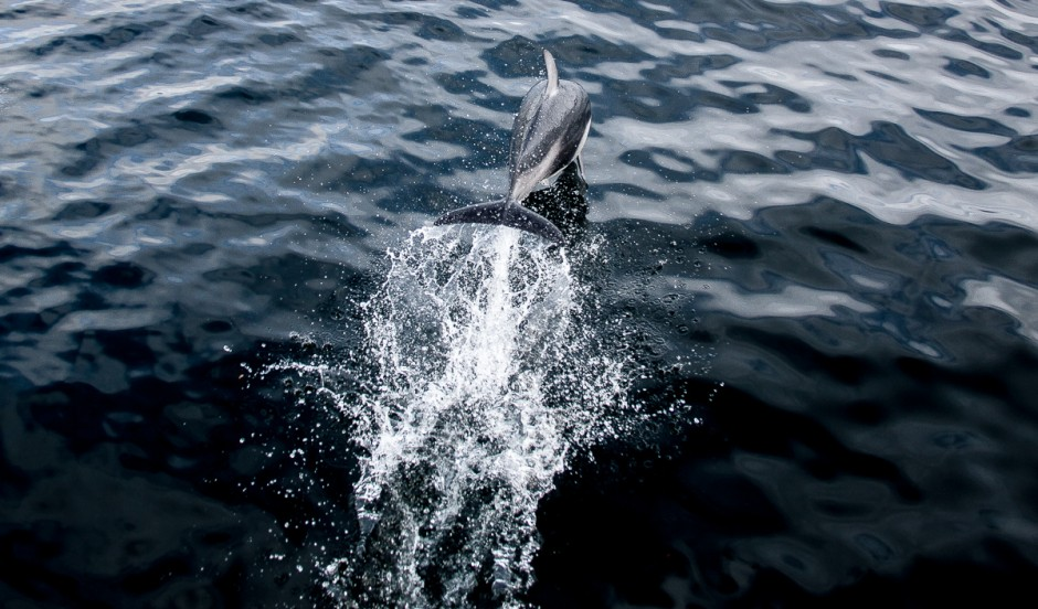 5-pacific-white-sided-dolphin