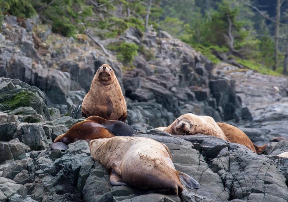 6-stellar-sea-lions