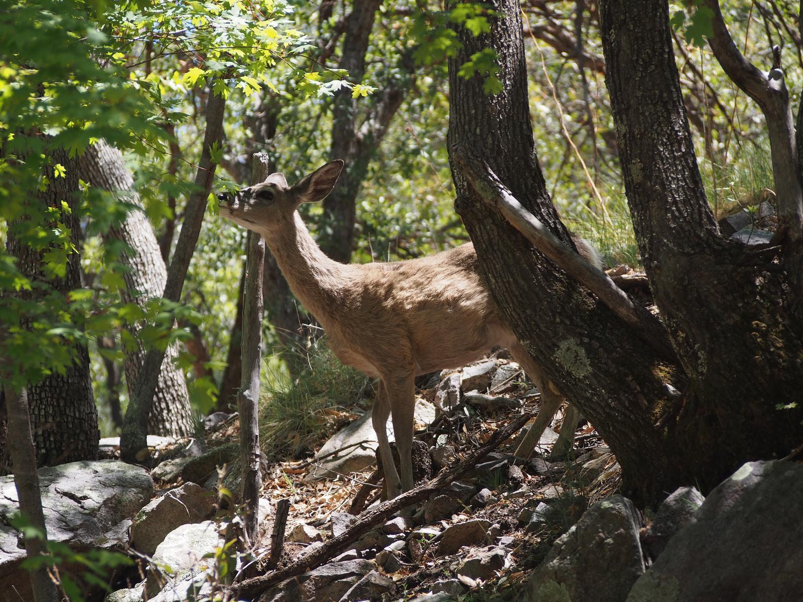 7-deer-ramsey-canyon-1