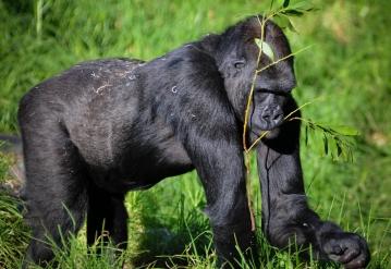"""""""gorilla"""