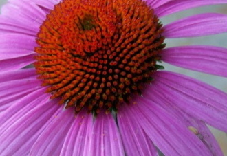 purple echinacea flower