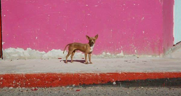 Red Chihuahua poses for a photo in Baja California Sur, Mexico