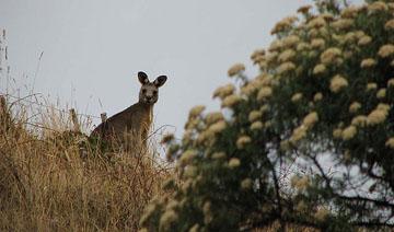 Kangaroo spotting