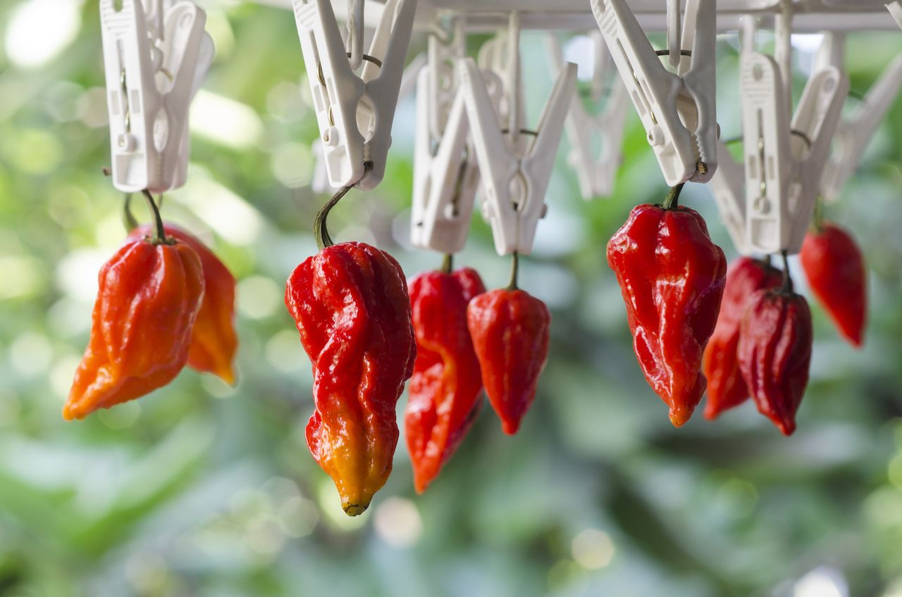 Bhut Jolokia Red Chili Peppers hanging from clippers hot peppers list
