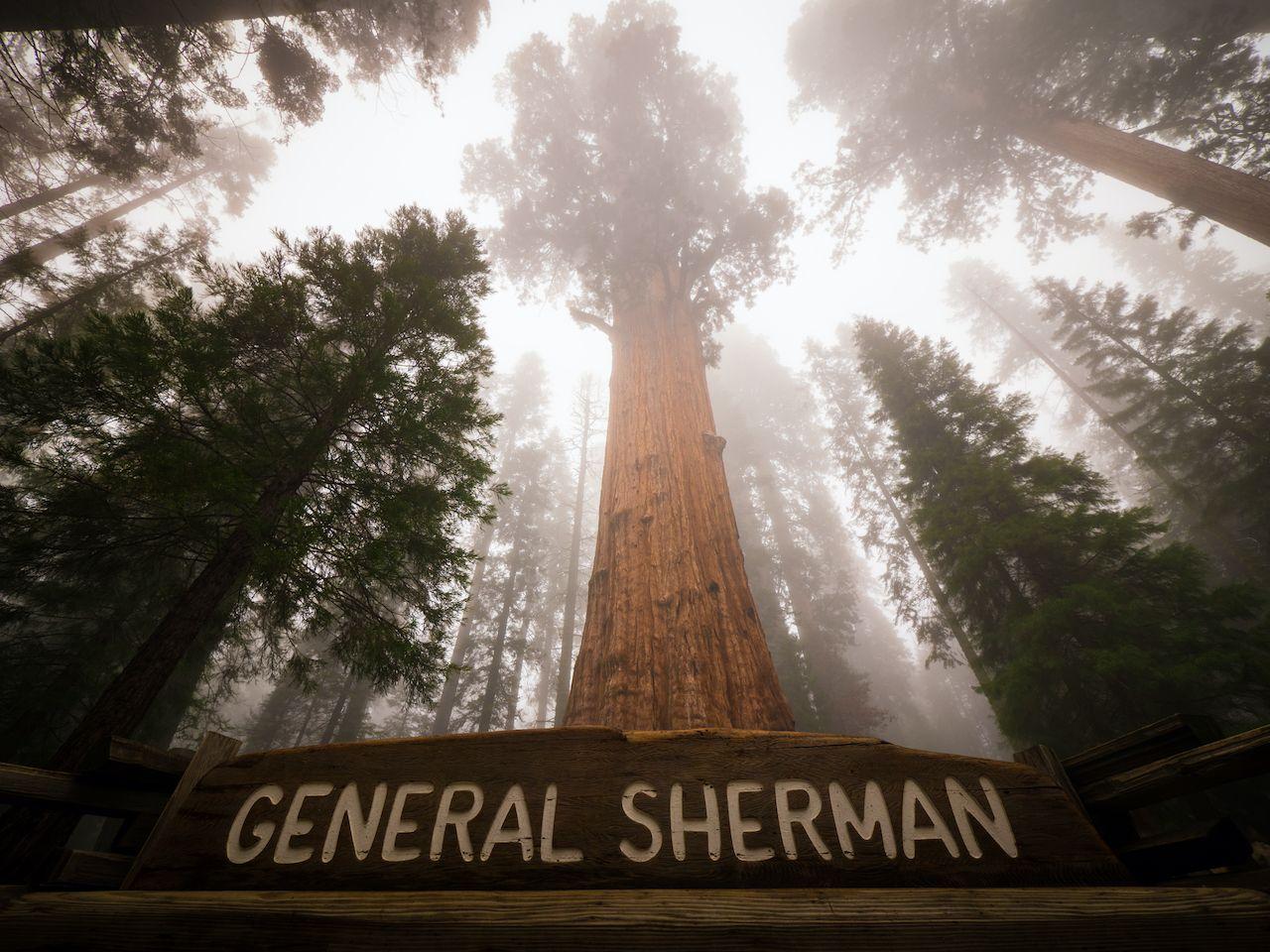 General Sherman, unique trees