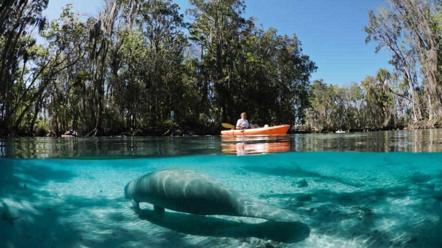 Manatees In And Around Crystal River Fl
