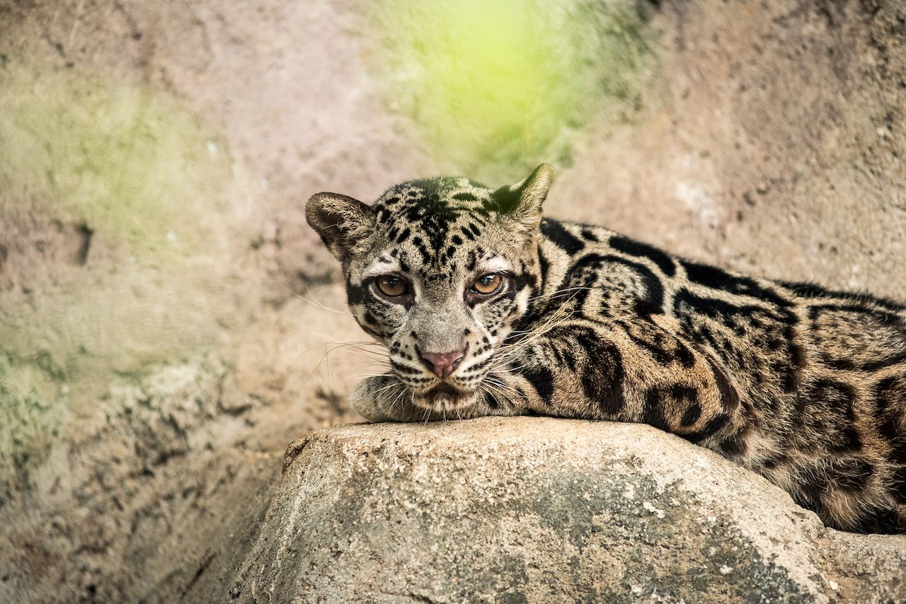 Sunda clouded leopards are big cats