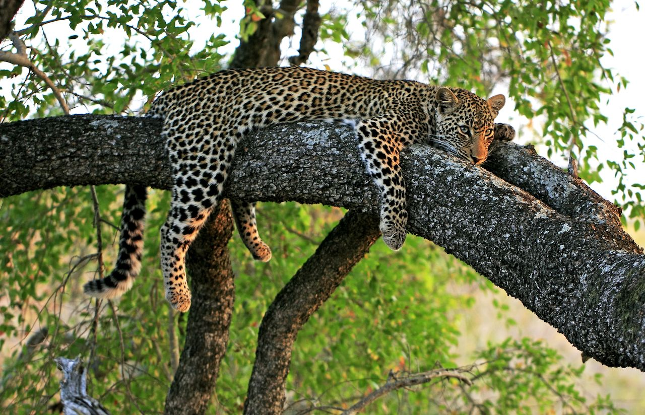 Leopards are big cats