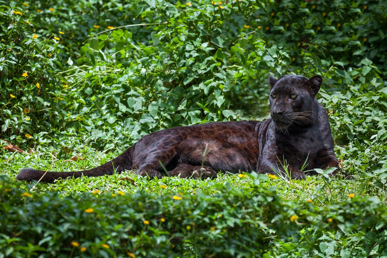What Are The World S Big Cats And Where Do They Live