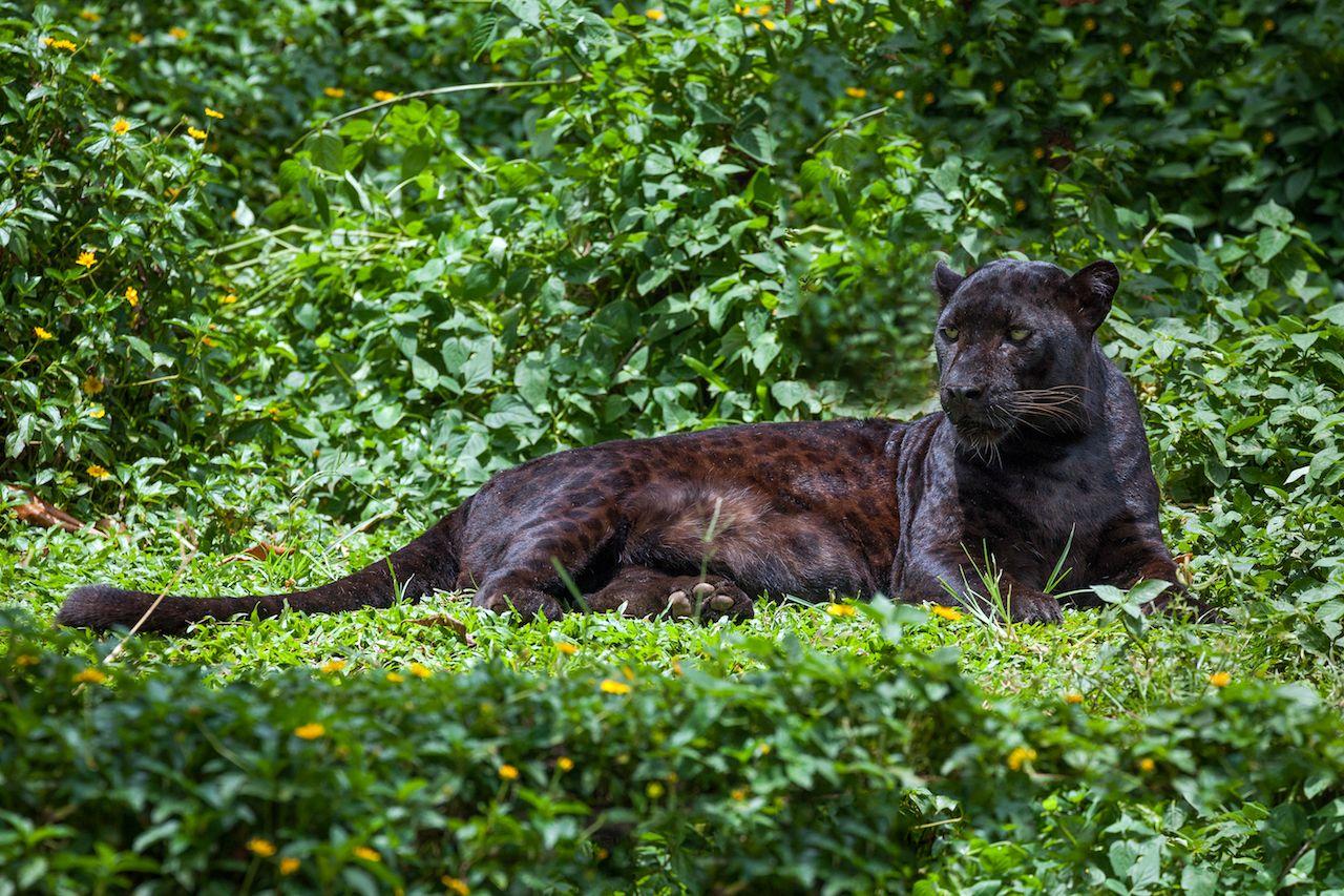 Jaguars are big cats