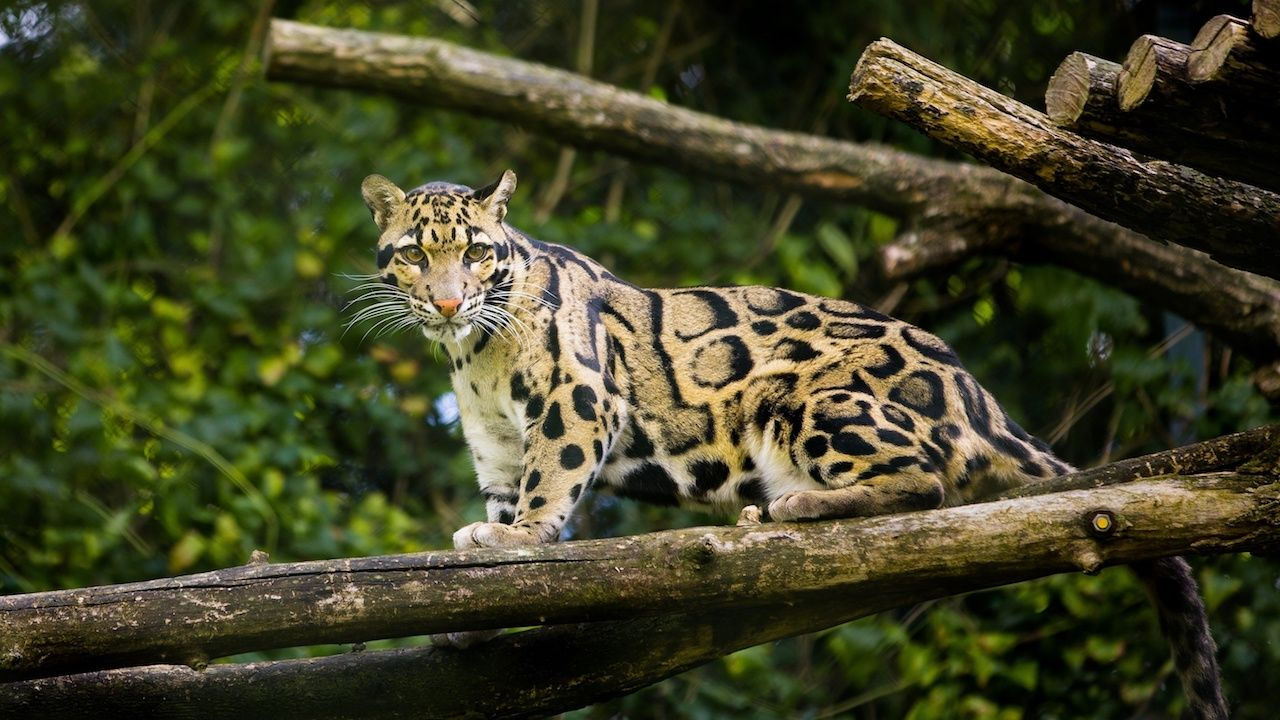 Clouded leopards are big cats