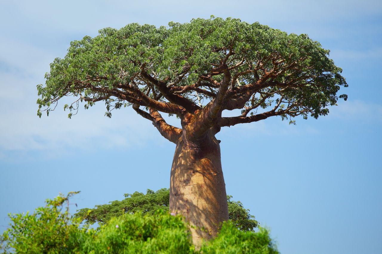 baobab tree, African proverbs