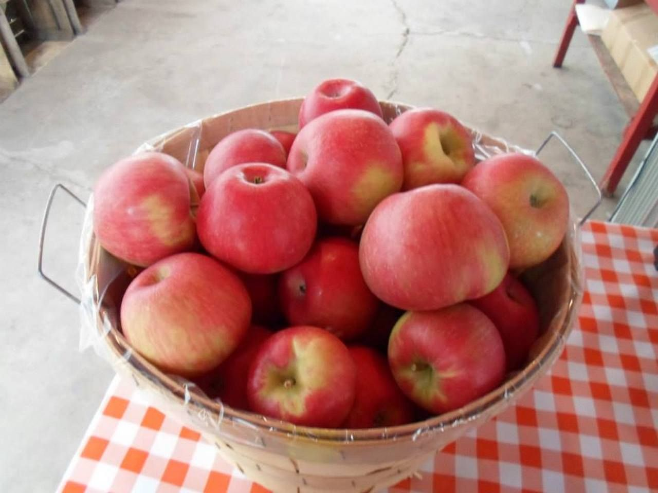 A basket of apples at the Rennie apple orchard in Michigan