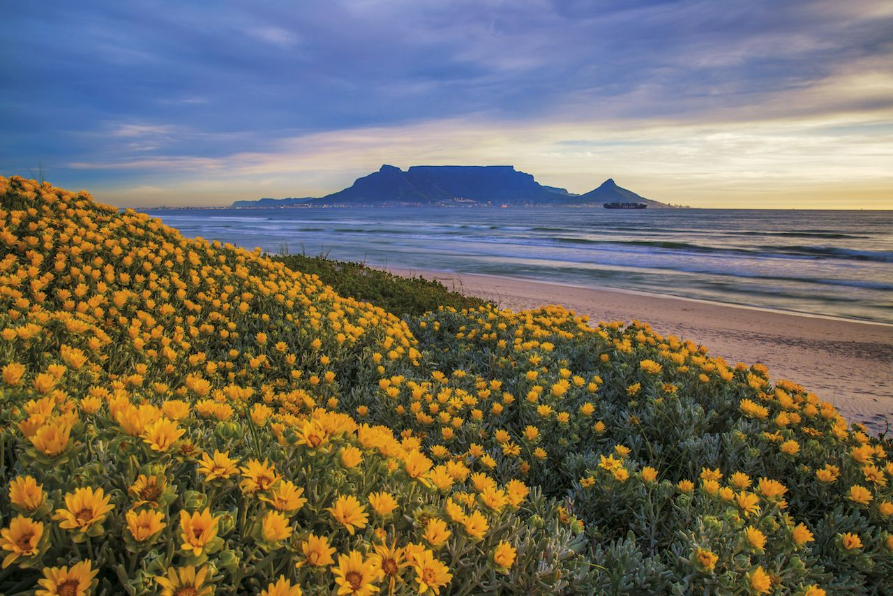 Widlflowers in Cape Town, South Africa, with a view of Table Mountain