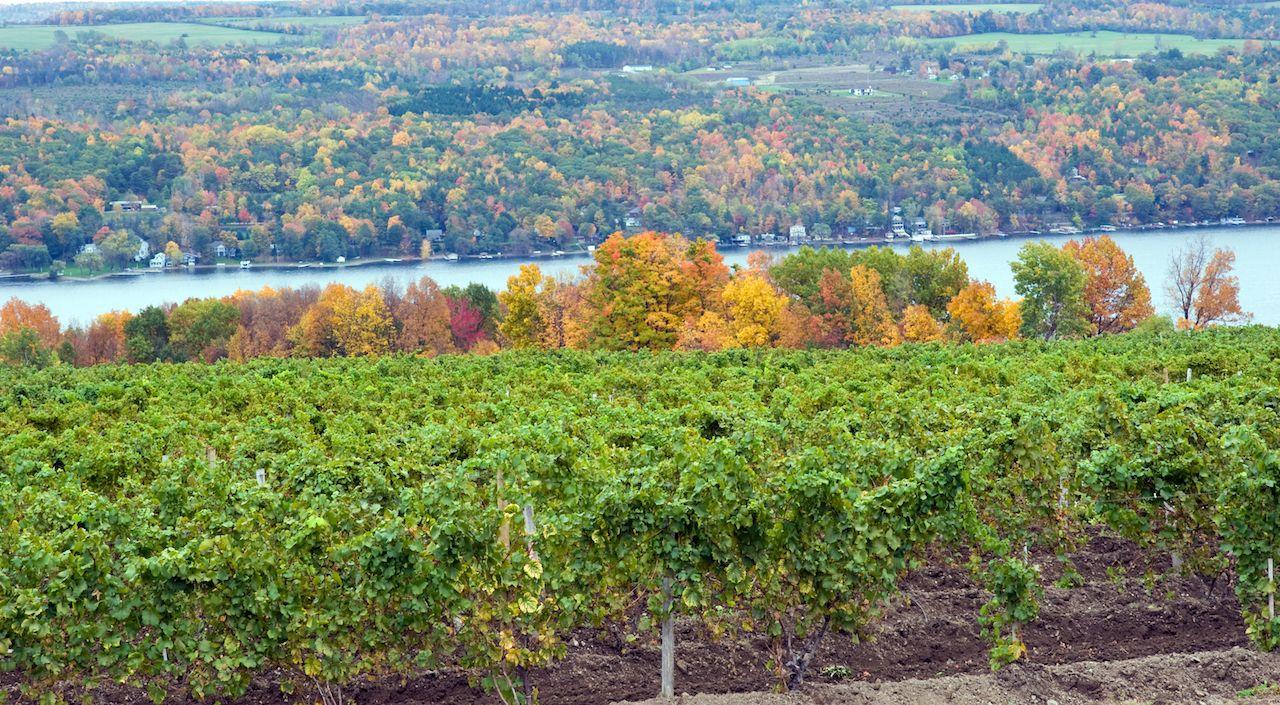Vineyard on Keuka Lake, a New York Finger Lake, in the fall