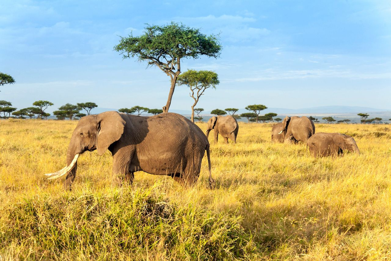 African elephant roaming the Maasai Mara National Reserve in Kenya