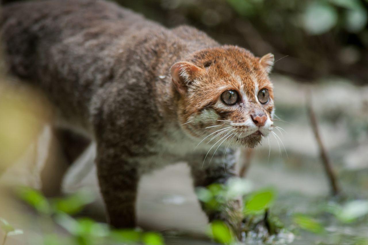 Flat-headed Small wild cats