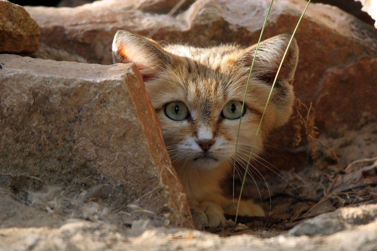 Small wild cats