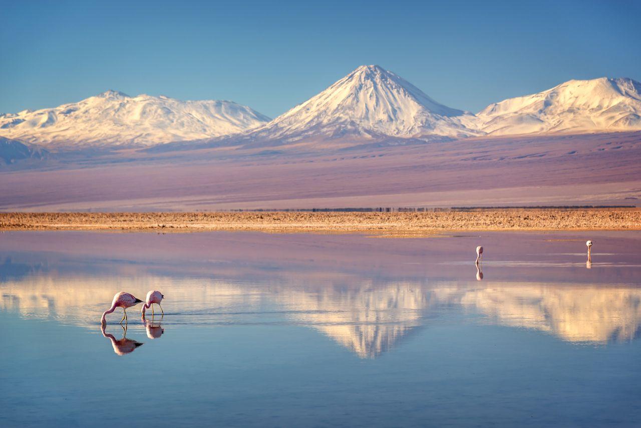 Snowy Licancabur volcano in Andes Mountains reflecting in the wate of Laguna Chaxa with Andean Flamingos, Atacama Salar, Chile