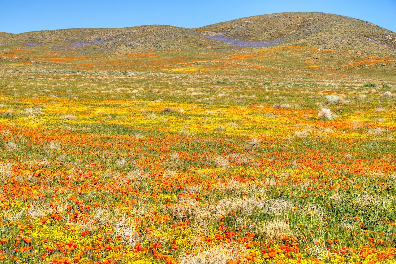 Blooming Antelope Valley flower field