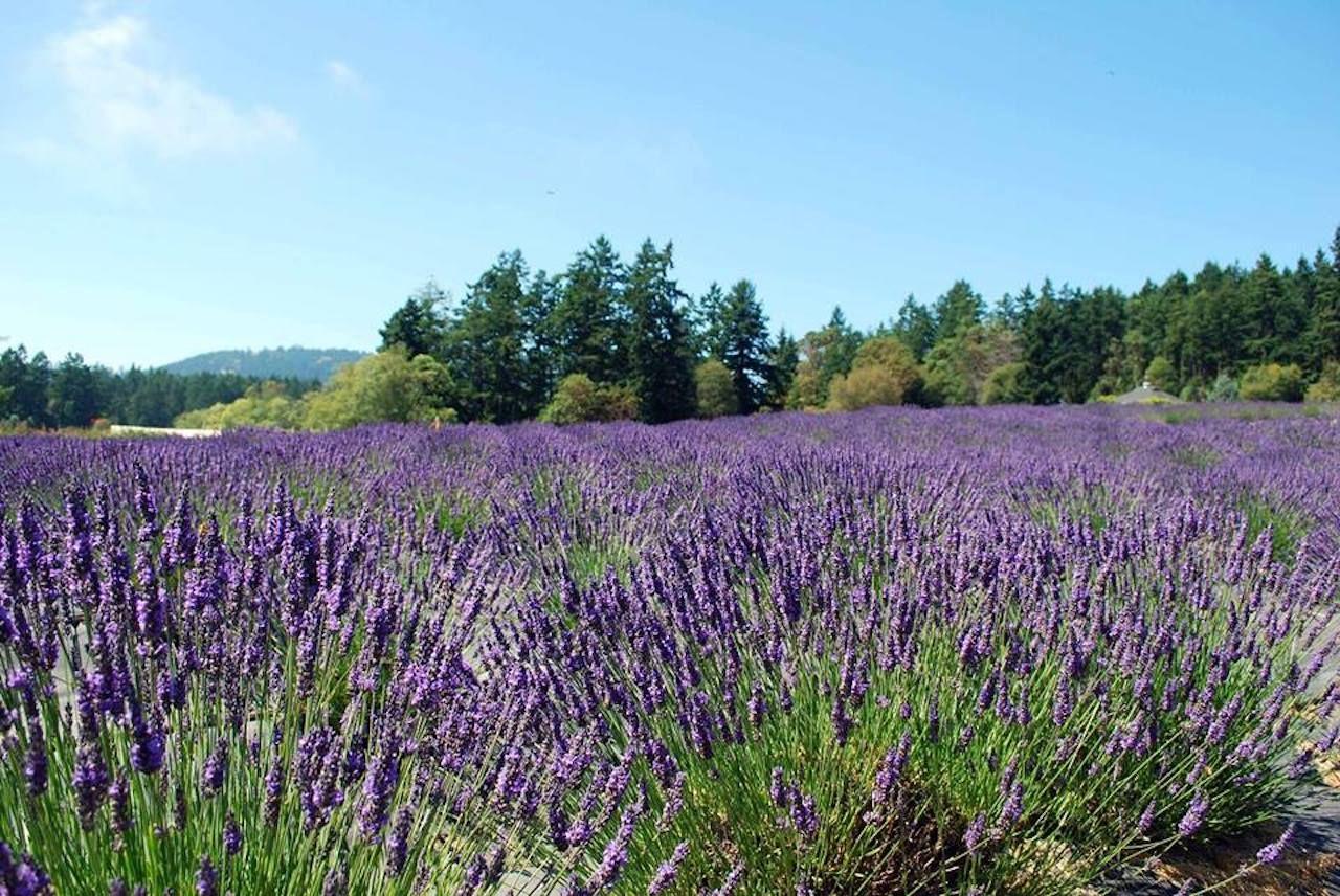 Pelindaba Lavender flower field