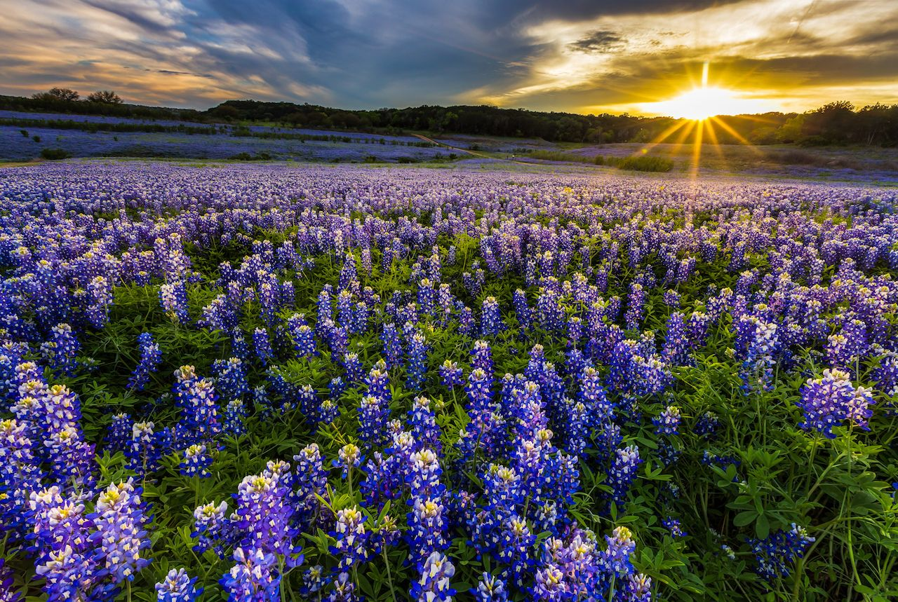 Texas Bluebonnet flower field