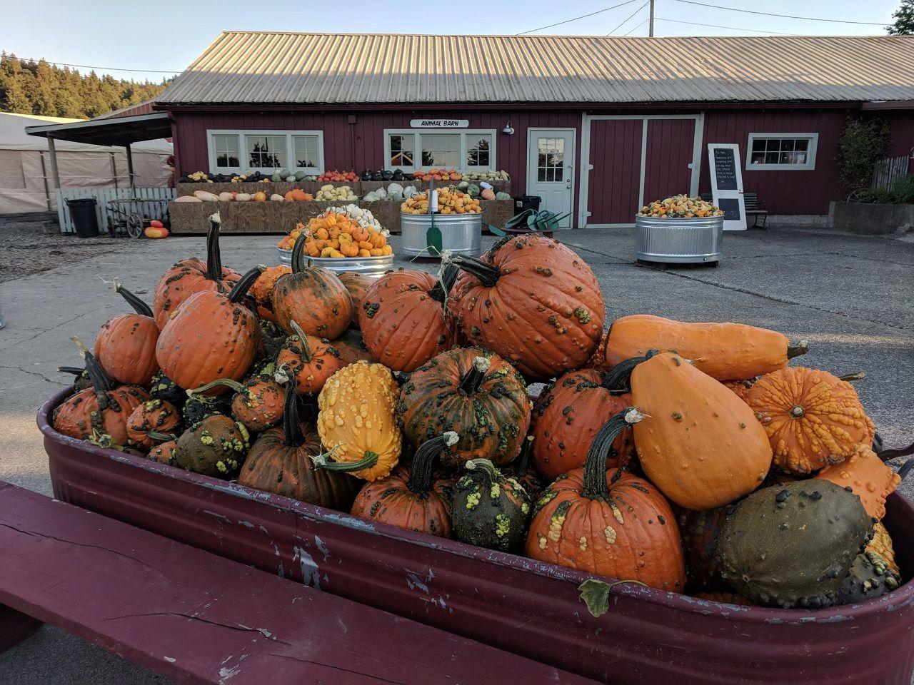 A trough of pumpkins outside of the Craven Farm pumpkin patch farm store