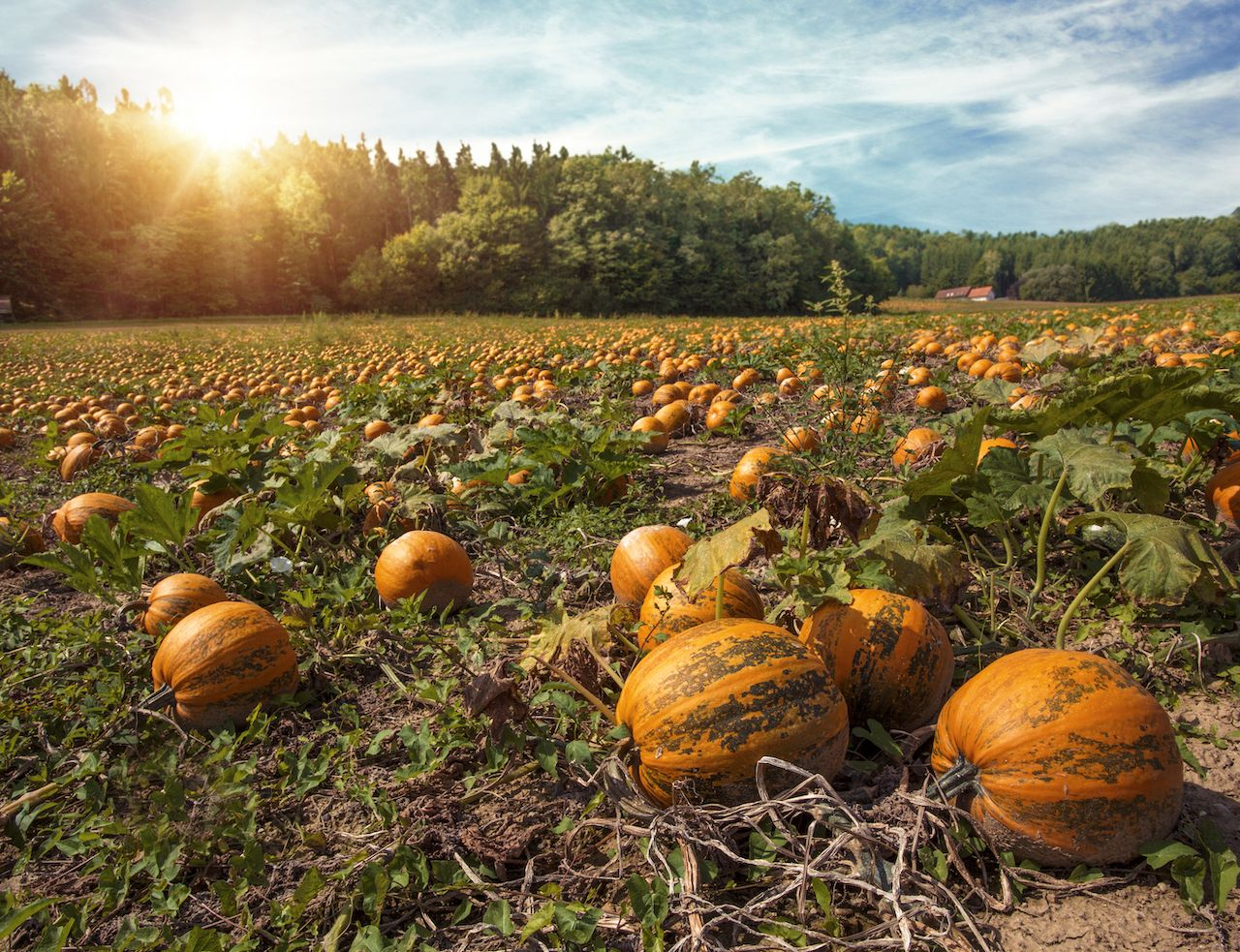 Pumpkin farm in Austria