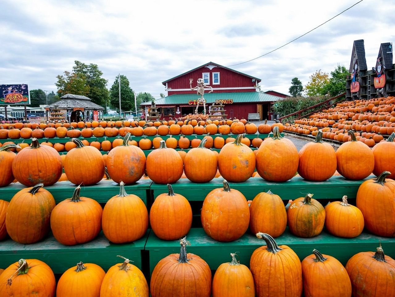 Pumpkins lined up at the Great Pumpkin Farm in New York